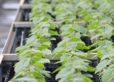 Kiribaum-Produktion für die spanischen Plantagen: WeGrow aus Tönisvorst