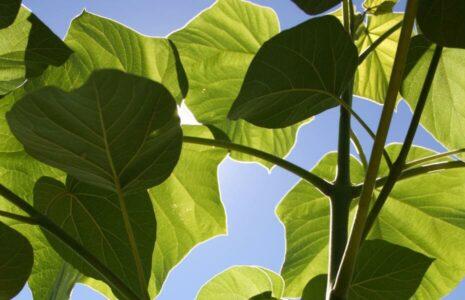Kirifarm Spanien bei La Portella - die jungen Bäume wachsen extrem schnell