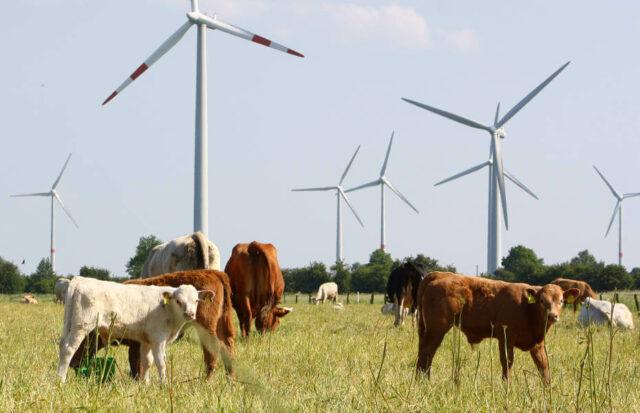 Klimawandel - Rinder im Sommer vor Windpark in Thedinghausen