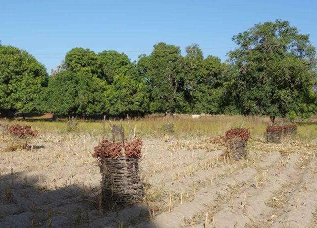 Oxfam - Entwicklungsarbeit in Mali mit jungen Bäumen