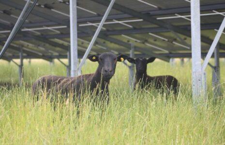 Ökorenta-Solarpark Burhafe - Schafe und Biodiversität