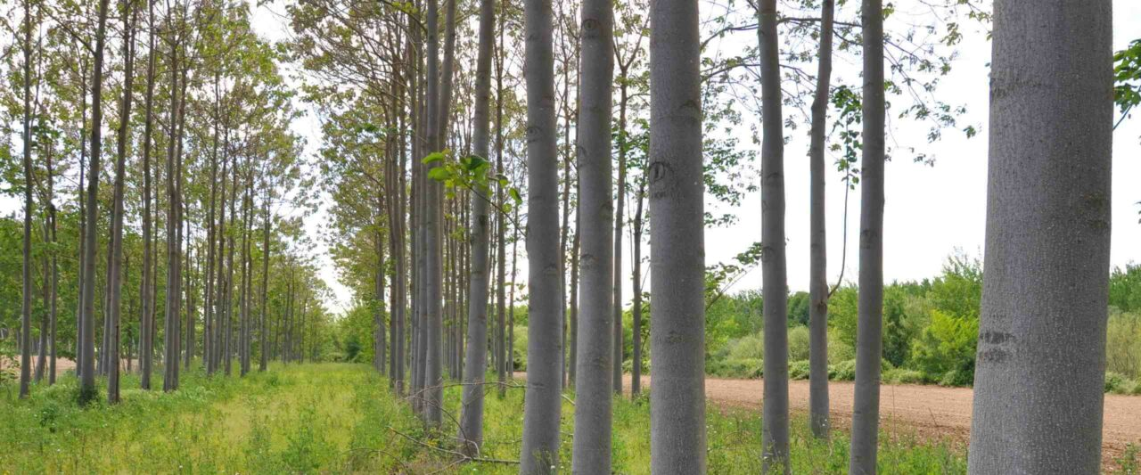 WeGrow aus Tönisvorst - Experten für Kiriholz und Kiribäume